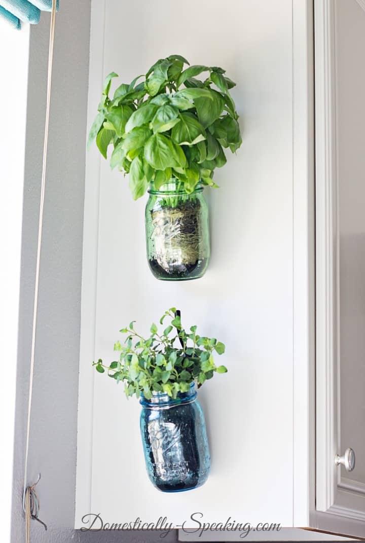 Fresh Basil Herbs in a Hanging Mason Jar