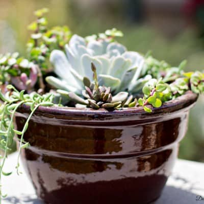 Creating a Drought Tolerant Succulent Planter