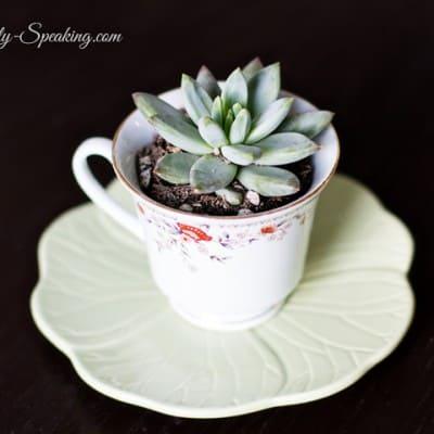 Teacup Succulents… An Easy Gift Idea