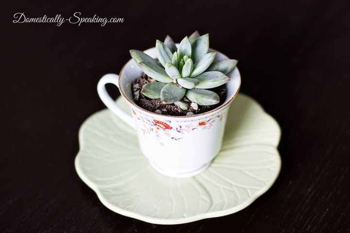 Teacup Succulent A Great Gift Idea