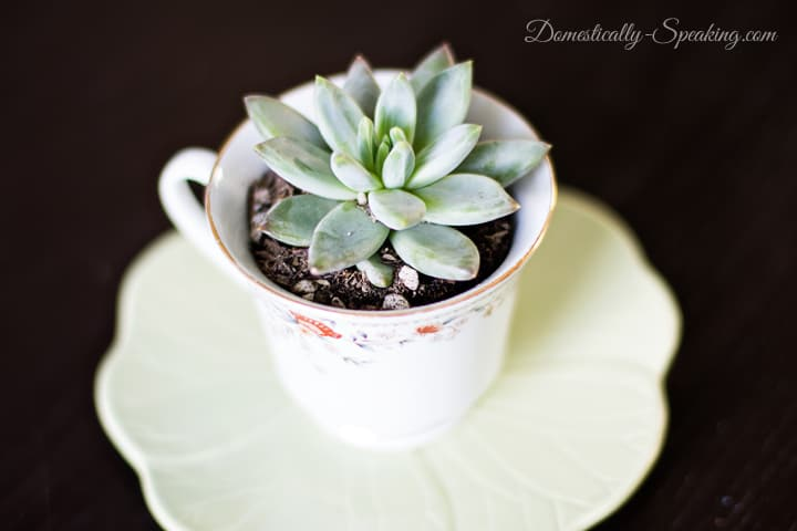 A great gift for Mother's Day or Teacher Appreciation - Succulents in a Teacup