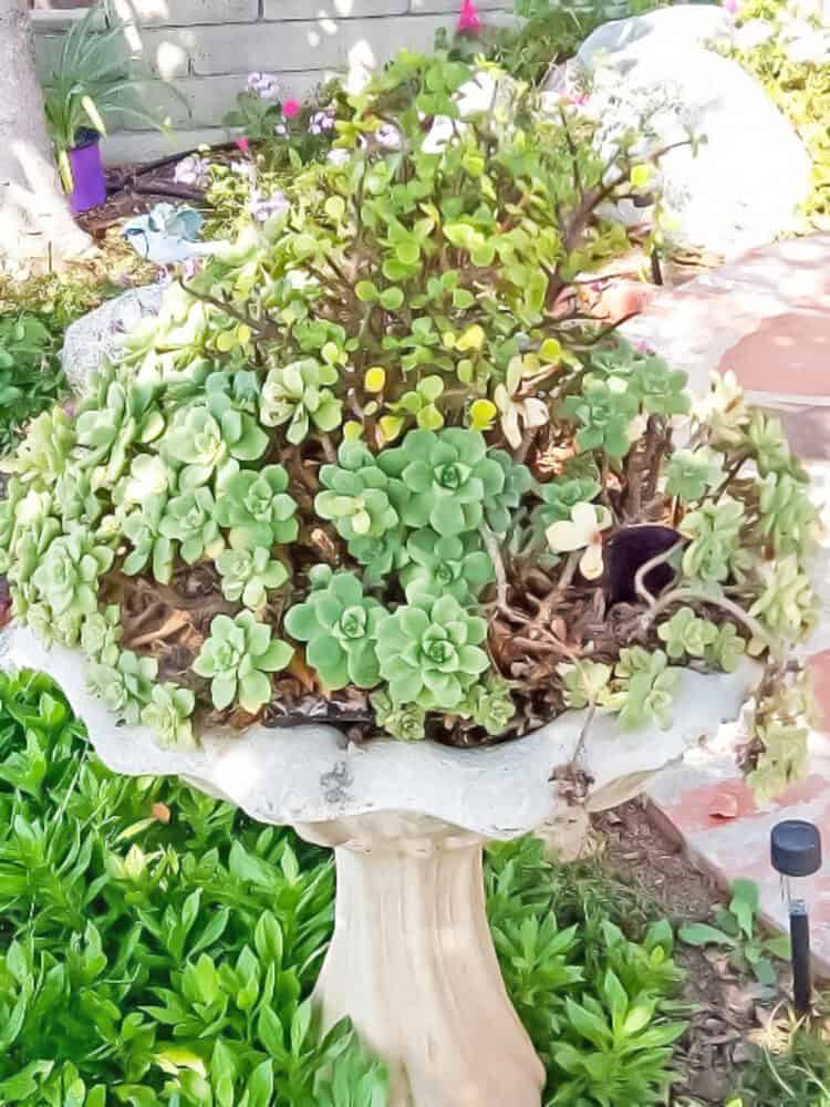 Succulents overflowing in a bird bath.