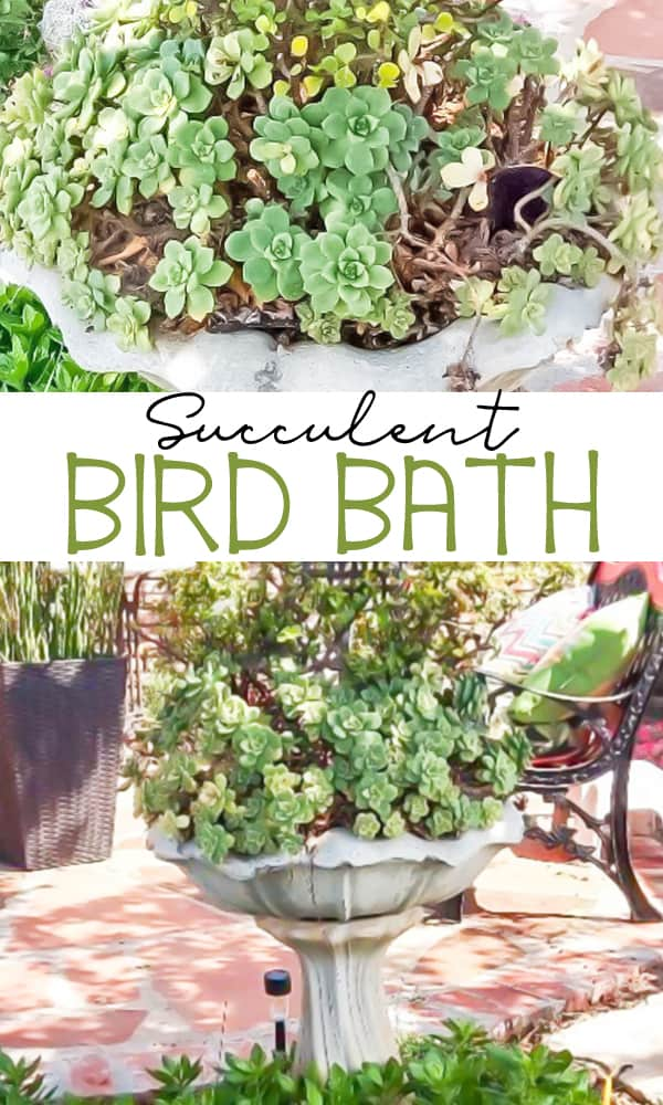 Succulent Bird Bath made with an old birdbath. Learn all the tips and tricks to keep your succulents happy.